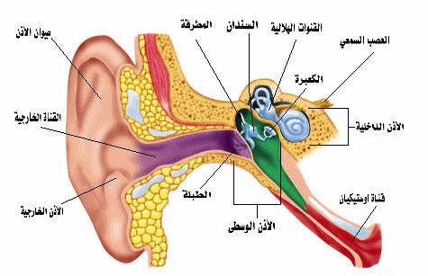كيف تعمل الأذن؟