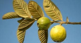 فوائد الجوافة للجنس