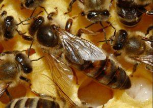 فوائد غذاء ملكات النحل2