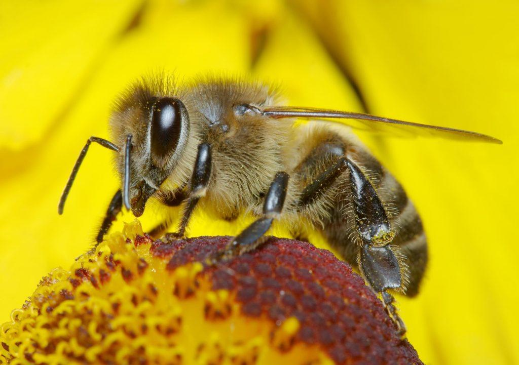 فوائد لسعة النحل