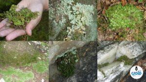 بحث عن النباتات اللاوعائيه