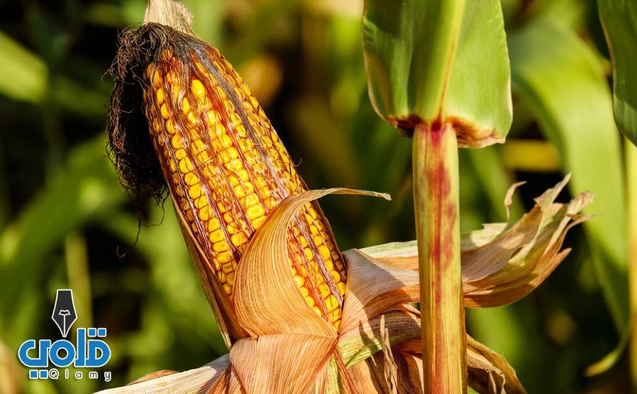 الذرة المشوية كم سعرة حرارية