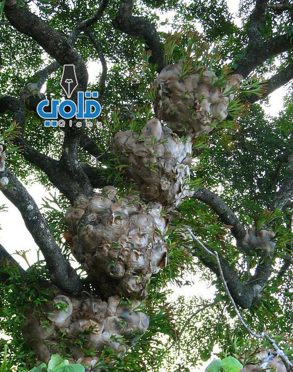 شجرة قرن الغزال