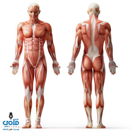 كم عدد عضلات جسم الانسان من سيربح المليون قلمي
