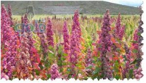نبات الكينوا