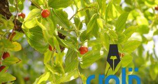 فوائد نبات السدر