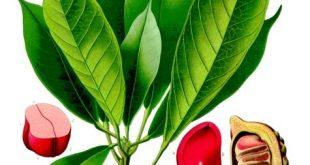فوائد وأضرار نبات الكولا