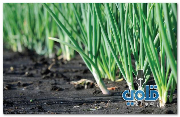 كيفية زراعة البصل من البذور